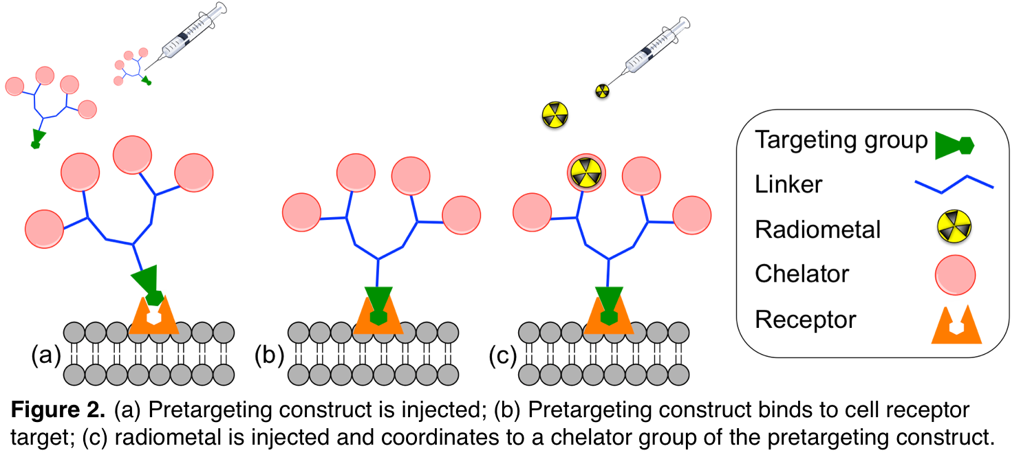 Figure 2. (a) Pretargeting construct is injected; (b) Pretargeting construct binds to cell receptor target; (c) radiometer is injected and coordinates to a chelator group of the retargeting construct.